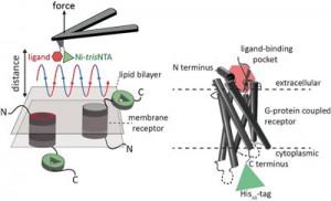 Mithilfe der hochauflösenden Rastersonden-Mikroskopie lassen sich zwei unabhängige Ligand-Bindungsstellen von humanen Rezeptoren in der nativen Membran identifizieren und quantifizieren.