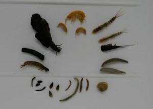 Makrozoobenthos-Organismen, d. h. tierische Organismen, die man noch mit dem Auge erkennen kann (von oben im Uhrzeigersinn): 3 Bachflohkrebse, 3 Eintagsfliegenlarven von zwei verschiedenen Spezies, 2 Egel, 1 Kugelmuschel, 4 Dipteren- larven von 4 unterschiedlichen Arten, 3 Zwergdeckelschnecken, 2 Käferlarven und 2 Käfer-Imagines, 1 Hydropsyche (köcherlose Köcherfliegenlarve), 2 unterschiedliche Köcherfliegenlarven); Foto: Oehlmann
