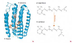 (a) Struktur der lichtgetriebenen Ionenpumpe Proteorhodopsin. (b) Lichtgetriebene Isomerisierung des Retinals. Grafik: AK Wachtveitl