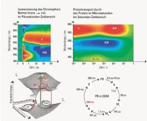 Zeitaufgelöste Veränderung der Absorption von Proteorhodopsin. Grafik: AK Wachtveitl