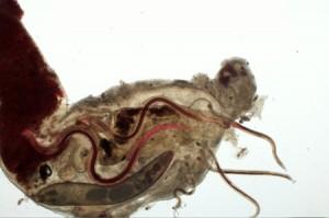 Tropische parasitäre Fadenwürmer und ein einheimischer Kratzer im Magen eines Fisches. © Senckenberg