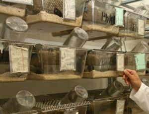 Labormäuse im Dienst der Alternsforschung. Foto: Dettmar