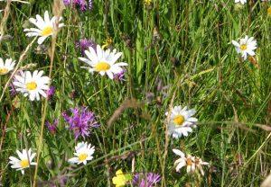 Blumenwiese als Beispiel für stadtnahe Biodiversität. Foto: K. Schumann