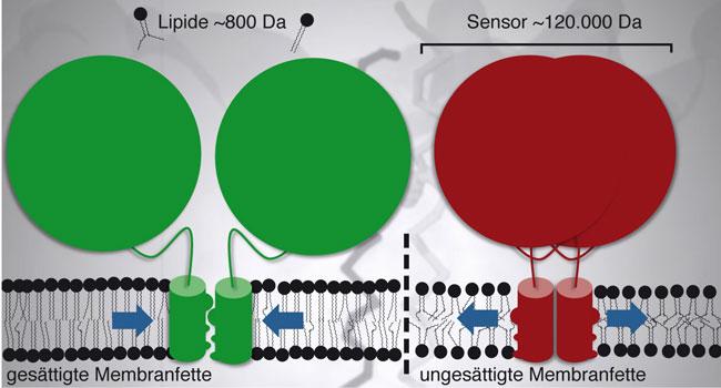 Die Membran aus gesättigten Membranfetten aktiviert den Sensor (grün) und regt die Synthese ungesättigter Fettsäuren an. Im Gegensatz dazu sind ungesättigte Membranfette locker gepackt. Der Sensor (rot) bleibt inaktiv. Grafik: Robert Ernst