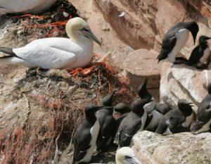 Die Basstöpel auf Helgoland bauen ihre Nester mit Plastiknetzen (orange). Foto: Helmut Behrends