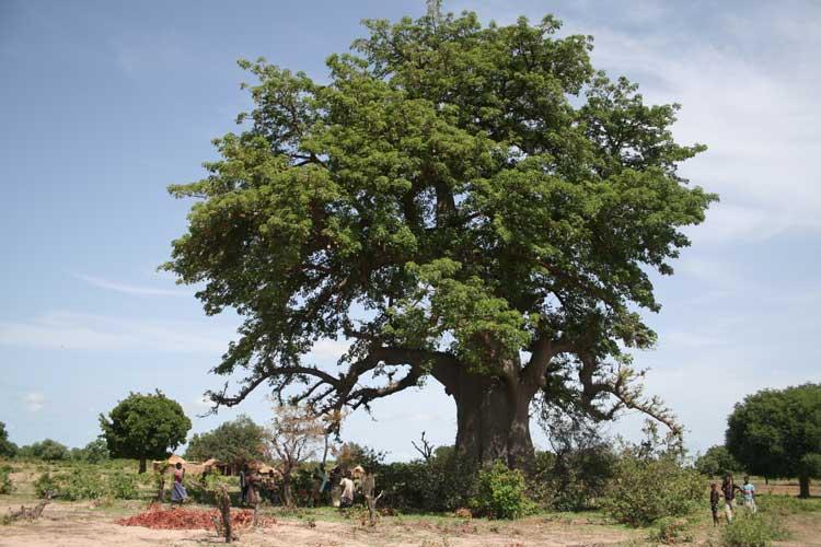 Der Affenbrotbaum, auch Baobab genannt, wird traditionell auf den Feldern stehengelassen. Dank seines ausgedehnten und dicht verzweigten Wurzelwerks und der hohen Wasserspeicherkapazität im Stamm übersteht der Affenbrotbaum Trockenzeiten und Dürreperioden. Foto: Katharina Schumann