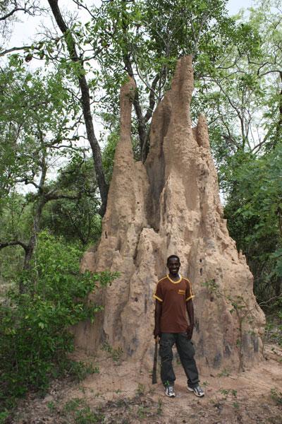 Die Termitenhügel in der Savanne können über vier Meter hoch werden. Die Baumeister sind winzige Termiten, das tropische Gegenstück zu den Regenwürmen. Die Termiten kultivieren in den Klimakammern dieser Hügel Pilze. Foto: Marco Schmidt