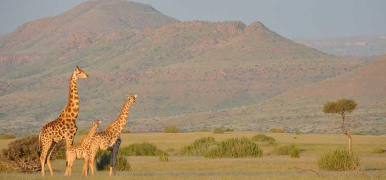 Angola-Giraffen im Nordwesten Namibias. Foto: Julian Fennessy