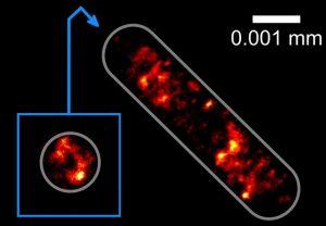 Verteilung der Erbinformation in einer Escherichia coli-Bakterienzelle: Physikern der Universität Bielefeld und der Goethe-Universität ist es erstmals gelungen, diese Verteilung mit höchster optischer Auflösung aufzunehmen, ohne die Zelle auf einem Glassubstrat zu verankern. Foto: Universität Bielefeld