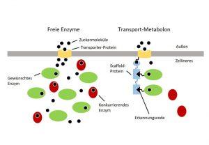 In der Bäckerhefe konkurrieren verschiedene Enzyme um Zuckermoleküle, die durch Transporter-Proteine in die Zelle aufgenommen werden. Damit der Zucker nur von Enzymen umgesetzt wird, die biotechnologisch gewünschte Produkte liefern (grüne Ovale), verknüpft man sie über eine Andock-Station direkt mit dem Transporter (rechtes Bild)
