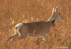Um die Bewegungen von Säugetieren rund um den Globus zu verfolgen, statteten die Forscher 803 Individuen aus 57 Arten mit GPS-Sendern aus. Hier eine Gazelle in der Mongolei. © Thomas Müller