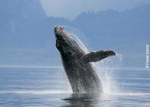Auch das Genom des Buckelwals wurde untersucht. Foto: Florian Schulz
