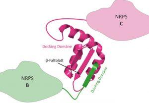 3D-Struktur eines NRPS Docking Domänen Paares. Die Docking-Domäne von NRPS B (grün) bindet über ein β-Faltblatt an die passende Docking-Domäne von NRPS C (magenta).