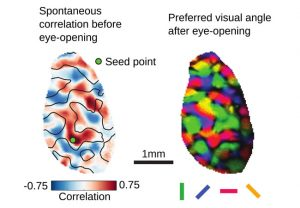 spatial patterns of spontaneous correlations