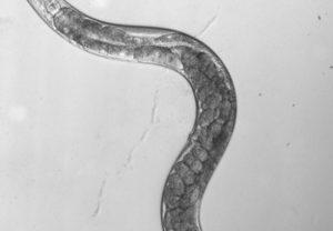 Fadenwurm C. elegans. Bildrechte: Alexander Gottschalk, Goethe-Universität
