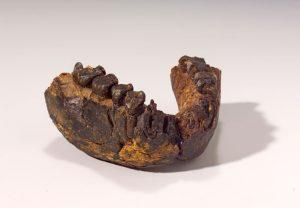 Unterkiefer eines 2,4 Millionen Jahre alten Homo rudolfensis, Fundstätte Uraha nahe des Malawisee, Foto: Hessisches Landesmuseum