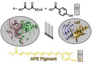 Biosynthese des in Bakterien sehr weit verbreiteten gelben Arylpolyen-Schutzpigmente aus einfachen Vorstufen. Bild: Maximilian Schmalhofer
