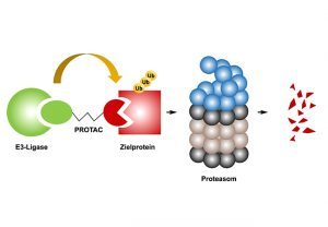 Schema der Wirkweise von PROTACs.  Ein PROTAC ist bifunktional und besteht aus einem Liganden (L, grün) für das Enzym E3-Ligase und einer Bindedomäne (L, rot) für das Zielprotein, verbunden über eine kurze Linkerregion (schwarz). (Graphik: IBC2/GU)