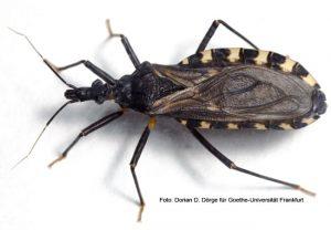 Chagas Wanze Triatoma infestans