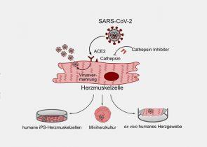 DZHK-Forscherinnen und Forscher konnten in Labormodellen zeigen, dass SARS-CoV-2 Herzmuskelzellen befallen kann. Copyright: Julian Wagner