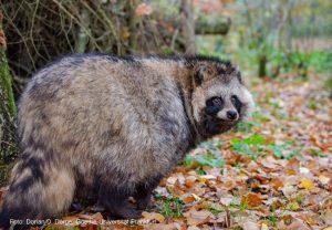 Marderhund (Nyctereutes procyonoides),