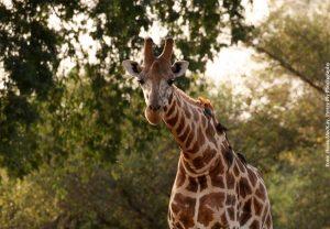 Beitragsbild_TBG-Kordofan-Giraffe