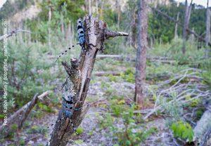 Die Larven des Alpenbocks (Rosalia alpina) ernähren sich von abgestorbenem Holz. Foto: Ralph Martin / fotografie_martin@gmx.de